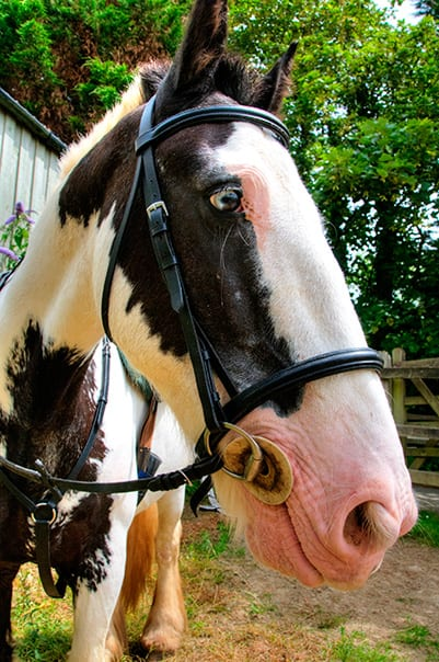 Bob the Cob at Broomhill Manor Stables