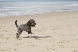 Cockapoo dog running on the beach